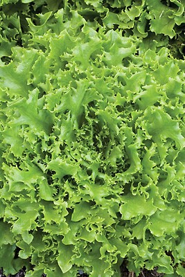 Details about  /LETTUCE SALAD BOWL RED UK SOURCED NATURAL SEED 0.5 GRAM SOW BY 10//2023 SEEKAY