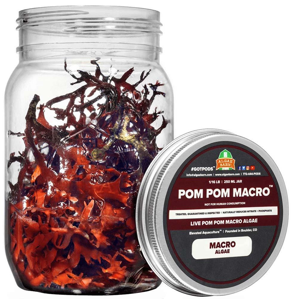 Pom Pom - Live Macroalgae Gracilaria Hayi 16 oz - Algae Barn