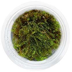Plagiomnium Affine Live Freshwater Plant - Aquatic Farmer