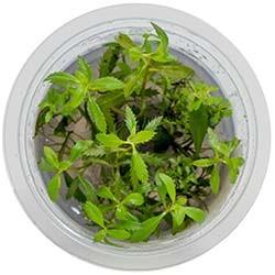 Proserpinaca Palustris Live Freshwater Plant - Aquatic Farmer