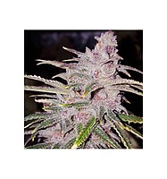 Tropicanna Punch | Oni Seeds Co | Semillas de marihuana